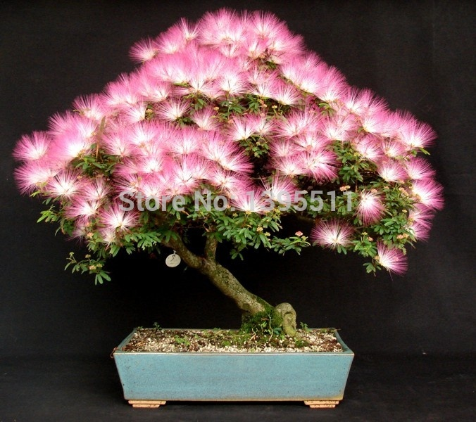 10 pieces bonsai Albizia Flower seeds called Mimosa Silk Tree ,seeds for flower potted plants free shipping ornamental-plant(China (Mainland))