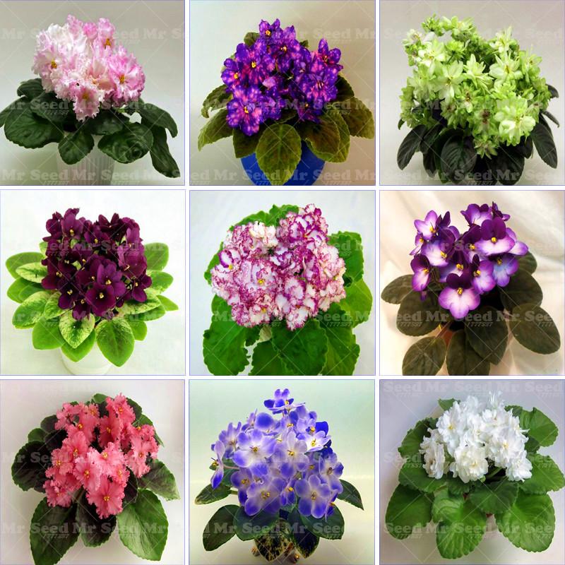 Violette africaine plantes achetez des lots petit prix for Violette africane