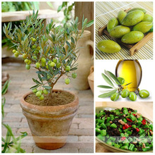 Free Shipping 3pcs mini bonsai Tree olive seeds , edible fruit and vegetable seeds, genuine seed