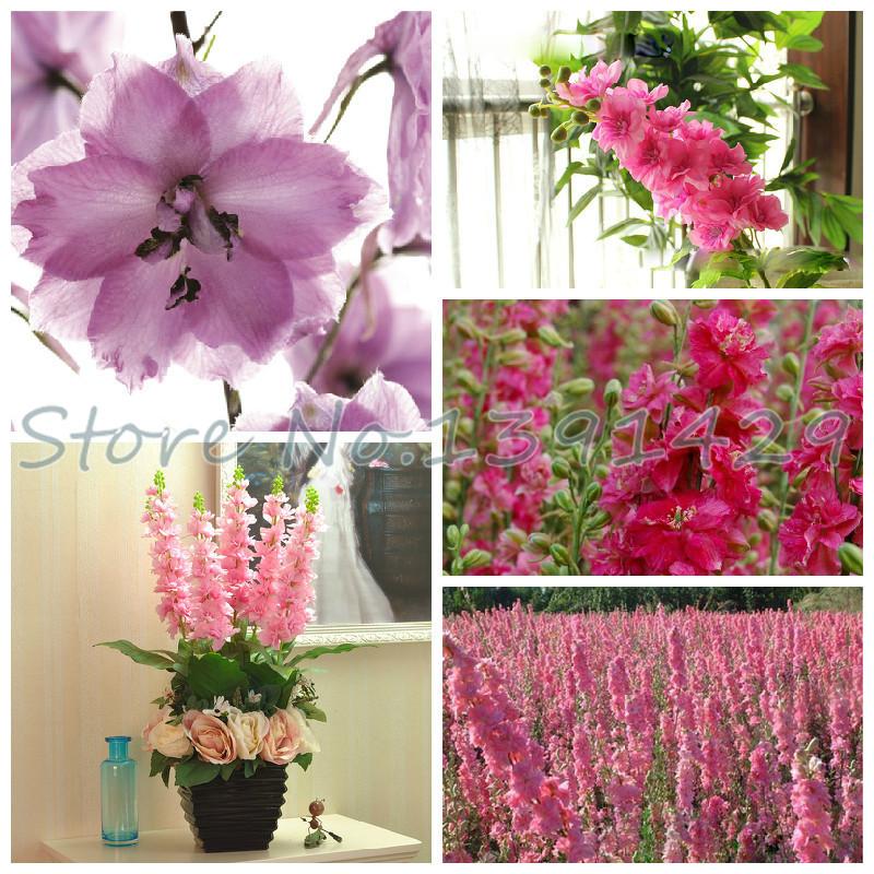 50 pcs/ bag rocket consolida, pink larkspur, delphinium pink flower seeds, rare flower tree seeds for home decoration(China (Mainland))