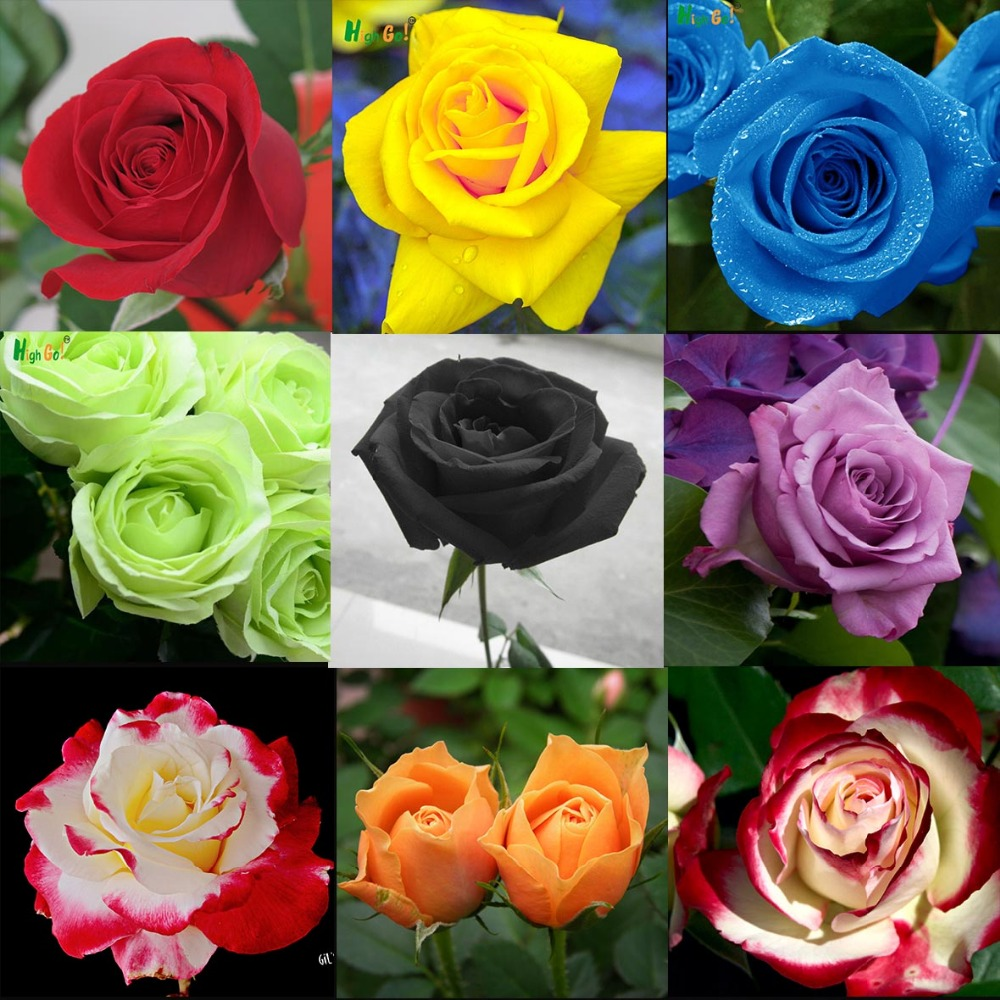 Rare rose seeds,22 Colors Selection,home Garden Perennial plant flower seeds,Indoor bonsai flowers,tree plants,garden supplie,(China (Mainland))