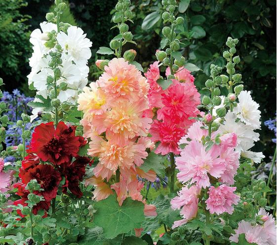 2016 Real Sementes Factory Price Cheap New Home Garden 20 Seeds Hollyhock Country Romance Mix Alcea Rosea Flower Free Shipping(China (Mainland))