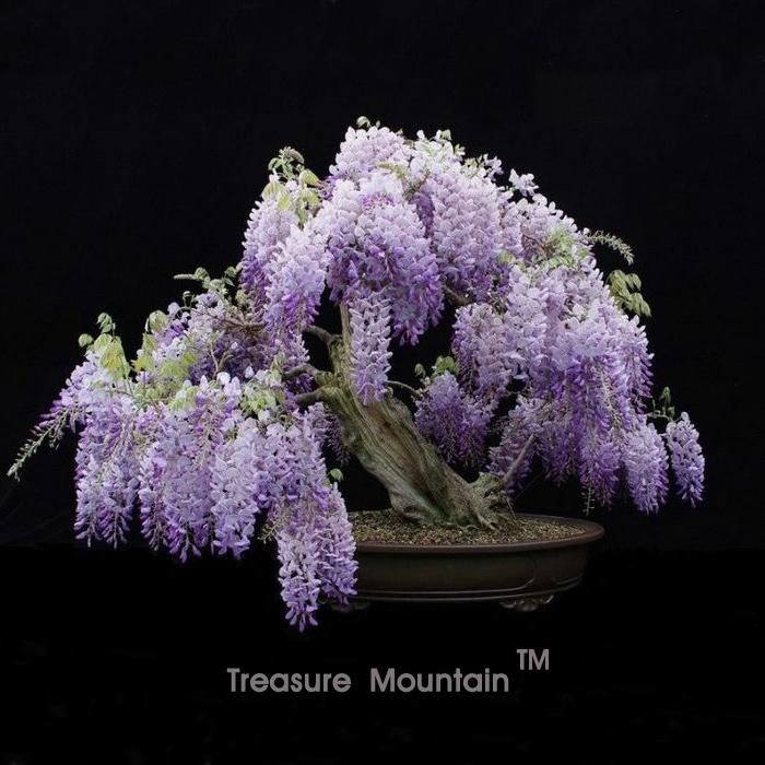 Wisteria graines promotion achetez des wisteria graines promotionnels sur - Graine de glycine ...