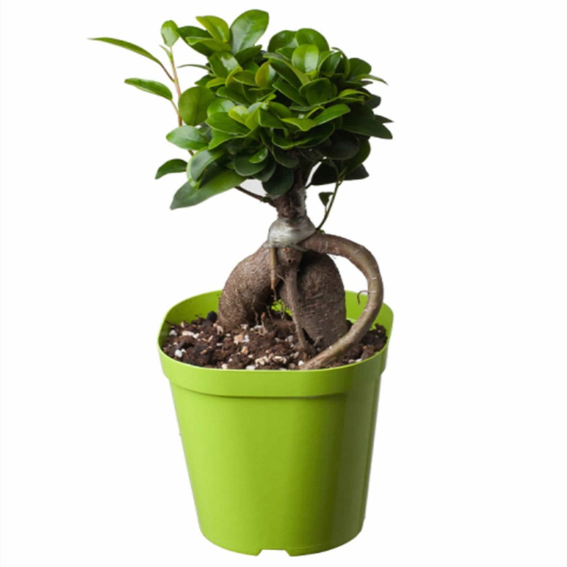 popular ficus ginseng bonsai buy cheap ficus ginseng. Black Bedroom Furniture Sets. Home Design Ideas