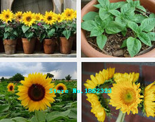 flower seeds, sunflower seeds oil, a bag free shipping,about 50 particles ``(China (Mainland))