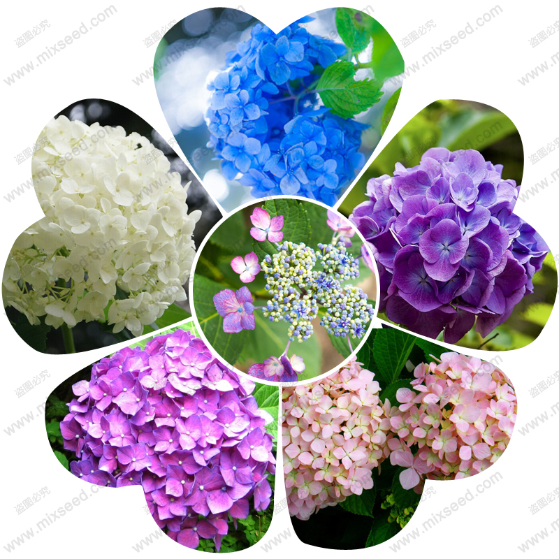Common hydrangea seed, Balcony Potted flowers hydrangea seed varieties have 24 colors -50 seeds / pack(China (Mainland))
