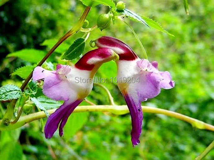 Free shipping, 200PC New Zealand colorful parrot orchid seeds, the world's rare high-grade bonsai, flowering plants(China (Mainland))