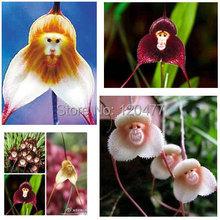 Potted Peru Monkey Face Orchid Seeds , Senior Phalaenopsis Bonsai Plants Flower Seeds -100 pcs