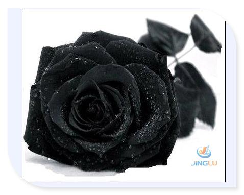Rose seeds black rose seeds rare Amazingly Beautiful Black Rose Flower(China (Mainland))