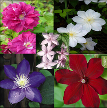 Vine Clematis potted clematis garden flowers,  clematis seeds, 20 seeds/bag