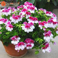 20 Pieces/ Bag Two-color Red White Univalve Geranium Seeds Perennial Flower Seeds Pelargonium Peltatum Seeds for Indoor Rooms