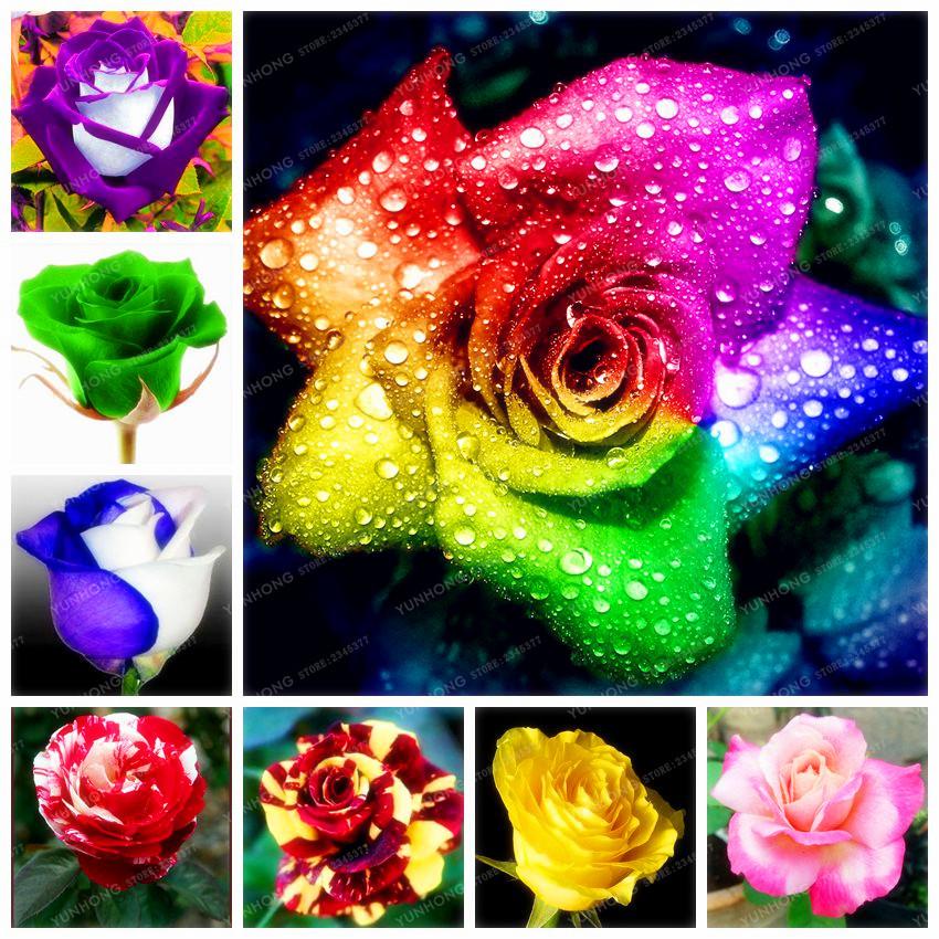 25 Colors Rare Rose Flowers Seeds DIY Garden Supplie Home Garden Perennial Plant Flowers Beautiful Bonsai Plant 50 Pcs(China (Mainland))