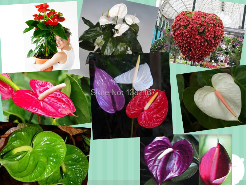 5/ bag ,Anthurium seeds, potted seed, flower variety complete, budding rate 95%, (Mixed colors) - china biggest seeds trade center store