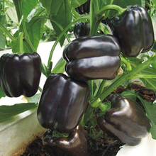 Black Sweet Pepper Seeds Balcony Potted Organic Vegetable Seeds Chili Pepper Seeds 100 Particles Potted Plant(China (Mainland))