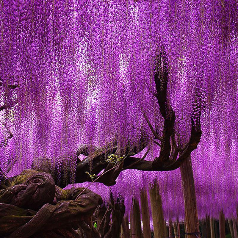 Wisteria seeds bonsai Wisteria sinensis tree 100 true seed in kind shooting 10 pcs bag