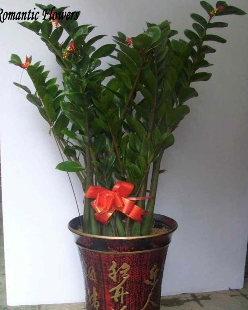 Popular zamioculcas plant buy cheap zamioculcas plant lots for Plante zamioculcas