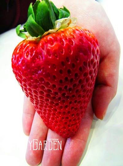 Time-Limit!!100pcs/Lot big giant red fruit strawberry seeds DIY Garden fruit seeds giant straberry,#CRRAVE(China (Mainland))