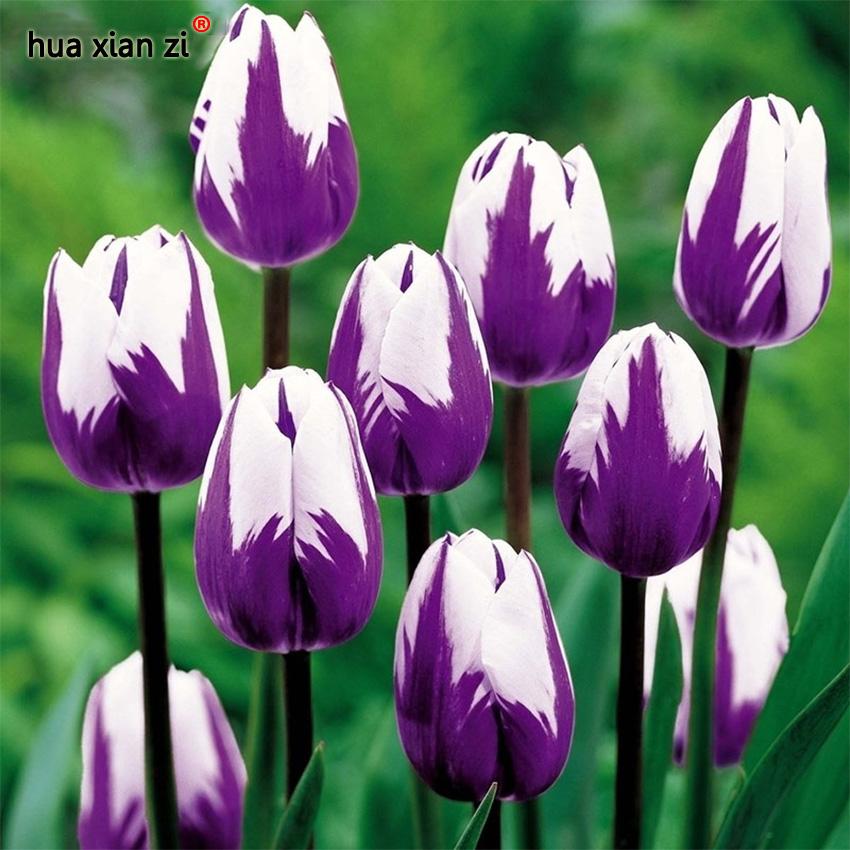 tulipe pourpre achetez des lots petit prix tulipe pourpre en provenance de fournisseurs. Black Bedroom Furniture Sets. Home Design Ideas