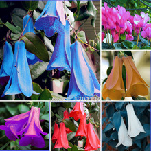 1bag=50pcs New Rare  Chilean Bellflower (Lapageria rosea) Seeds evergreen part shade DIY bonsai garden flower plant seeds(China (Mainland))