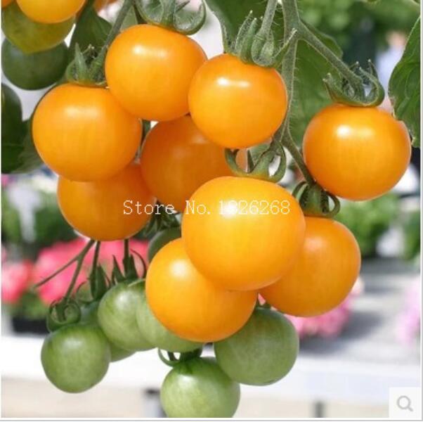 Giallo piante di pomodoro acquista a poco prezzo giallo for Piante a poco prezzo