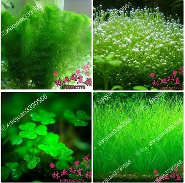 mixed 100 seeds/pack Plants fish tank aquarium grass seed plants seeds flower pots planters home garden flowers(China (Mainland))