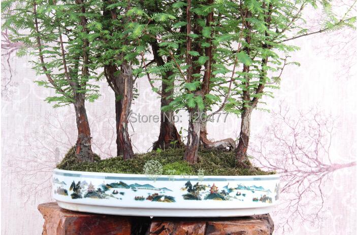 Dawn Redwood Forest Bonsai Seeds Bonsai Tree Metasequoia glyptostroboides Grow Your Own Bonsai Tree 50 Pcs