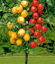 Dwarf  bonsai apple tree  20 Seeds Pick Delicious Fruits In Your Backyard  Easy -growing Bonsai FruitFree Shipping(China (Mainland))