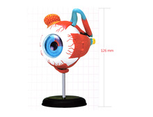 Buy 4D Master human eye anatomical model assembled human anatomy model eye puzzles structure human skeleton anatomical model for $27.49 in AliExpress store