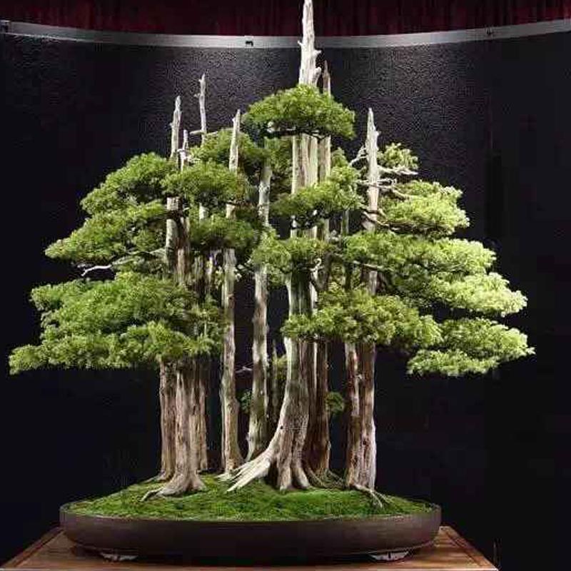 Hot 60 PCS Thunbergii Seeds Black Pine bonsai Tree Seeds Potted Plants Balcony Seating Japanese Pine
