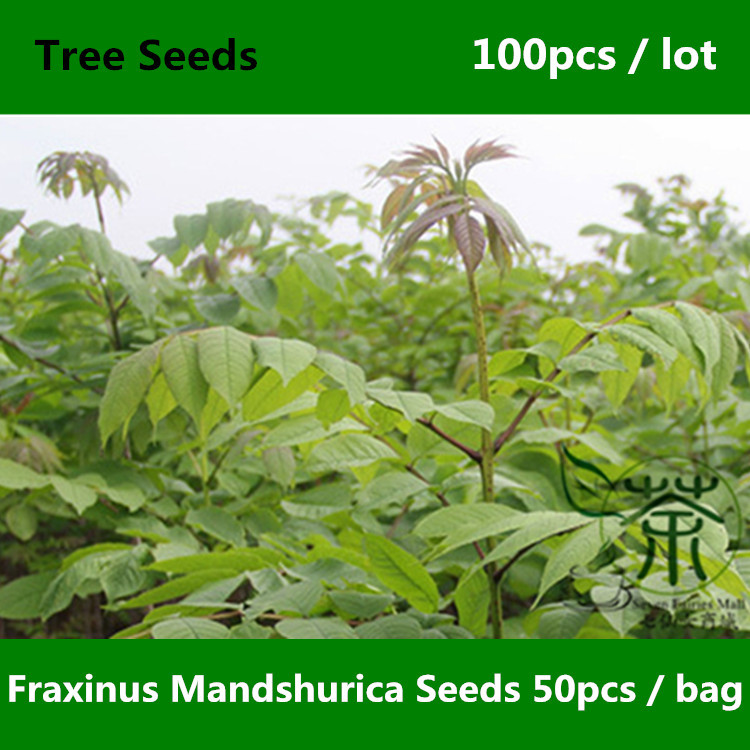 Widely Cultivated Fraxinus Mandschurica Seeds 100pcs, Family Oleaceae Manchurian Ash Tree Seeds, Adaptability Shui Qu Liu Seeds(China (Mainland))