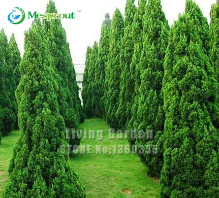 Promotion! 50Pcs Italian Cypress (cupressus Sempervirens Stricta) Seeds Home Gardening, Roads Green Plants Free Shipping(China (Mainland))