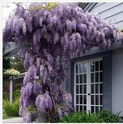 35pcs/bag hot selling Purple Wisteria Flower Seeds for DIY home garden