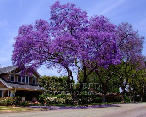 free shipping 50 Paulownia Seeds princess tree or empress tree impressive and add beauty to your