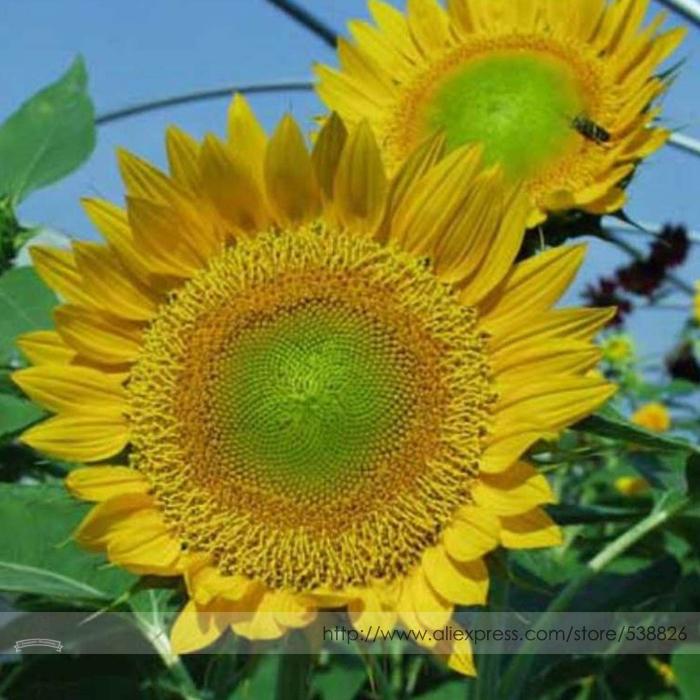 Sunbeam F1 Hybrid Ornamental Sunflower Seeds Professional