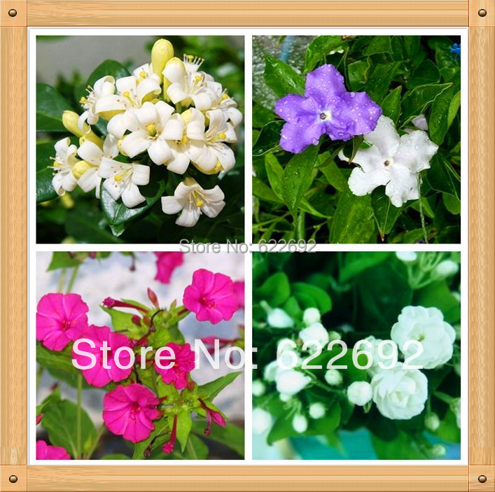 Potted Plants Beautiful Jasmine Flower,Jasmine Seeds 1 Lot 100 Piece , 4 Variety 25 - 77 Factory Stores store