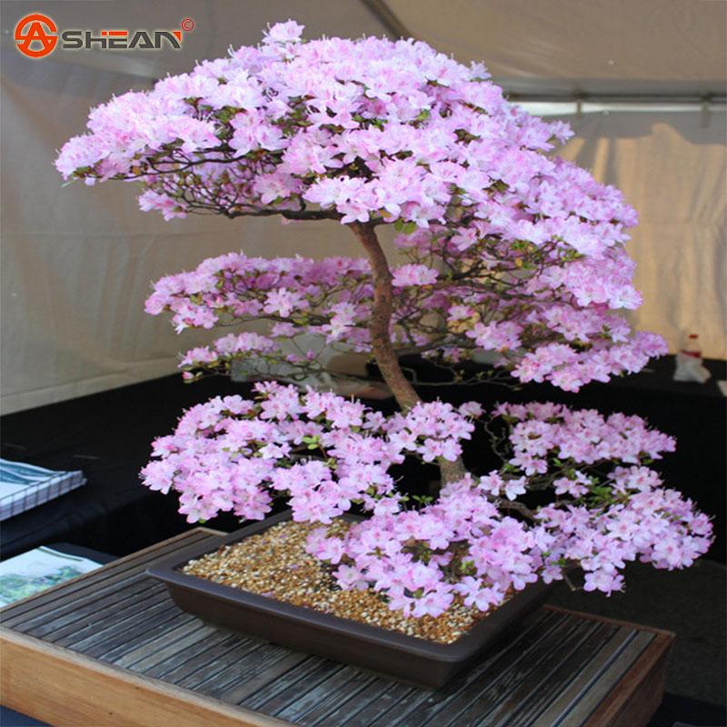 buy japanese sakura seeds bonsai flower. Black Bedroom Furniture Sets. Home Design Ideas