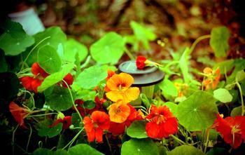 1000g globeflower extract / nasturtium extract /trollflower Extract  20:1<br><br>Aliexpress