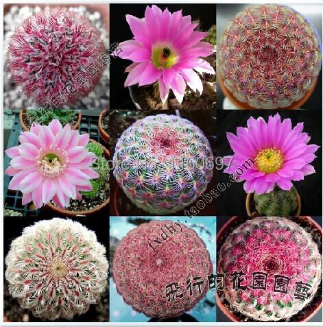 flower pots planters Mix 50 seeds of flowering succulent plants mini cactus plants bonsai succulent seeds floristics sementes(China (Mainland))