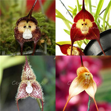5pcs/Bag  Mixed Colourful Monkey Face Orchid Seeds Red Cream Potted Peru Flower seeds Orchis Simia Senior Phalaenopsis Bonsai(China (Mainland))