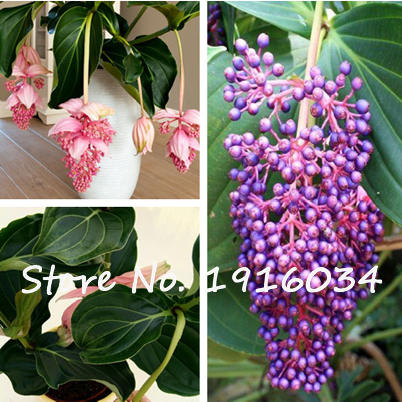 how to grow medinilla magnifica from seed