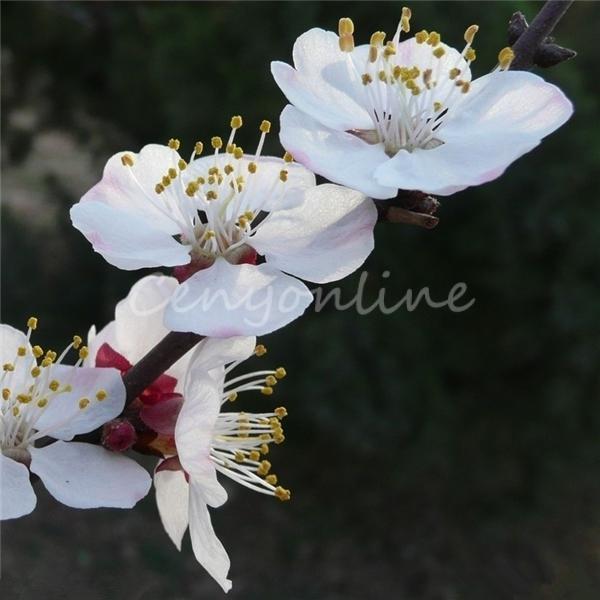 20pcs Mock ORANGE Seeds Sweet English Dogwood Philadelphus Coronarius Shrub Flower Wintersweet(China (Mainland))
