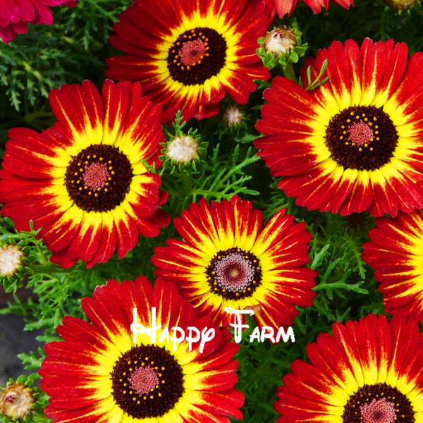 Potted flower seeds, Chrysanthemum seeds, Semillas de Flores seedling for home & garden, 100 seeds/bag(China (Mainland))