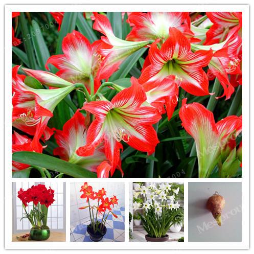 Amaryllis fleur promotion achetez des amaryllis fleur for Amaryllis graine