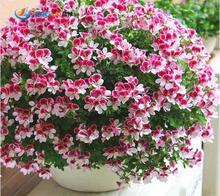Garden Geranium, Pelargonium Geranium Seeds, Pelargonium Flowers -100 Seeds