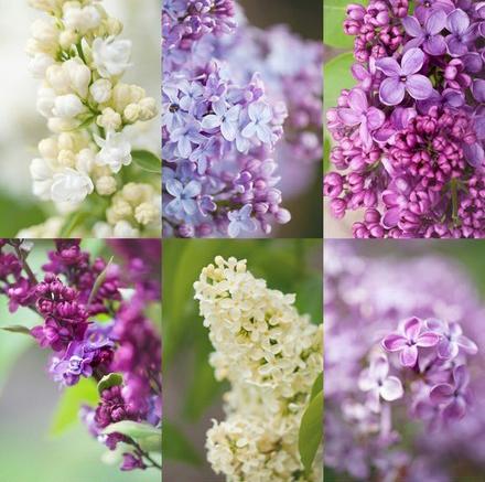 Acquista all 39 ingrosso online chiodi di garofano semi da for Vendita semi fiori