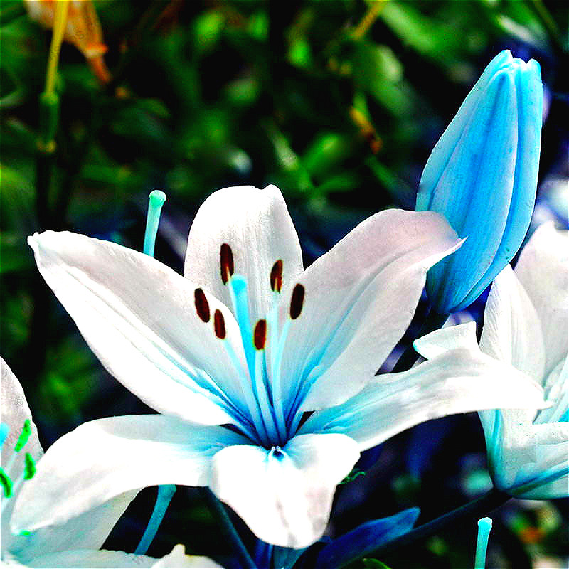 BIG SALE 100 Particles / Lot Specials Blue Heart Lily Plant Seeds Potted Bonsai Plant Lily Flower Seeds For Home Garden Planting(China (Mainland))