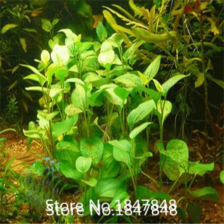 product 9 Colors 500 mix aquarium.grass Seeds Perennial Flower Seeds for Garden in Bonsai buy 2 get secret Flowers Gift Free Shipping