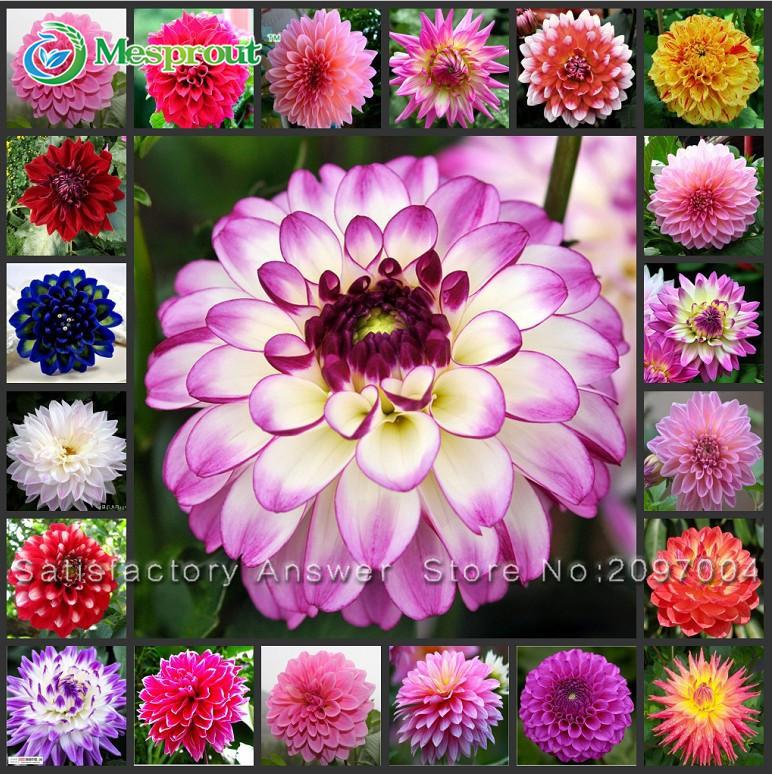 Hot Selling 30/bag Dahlia, Dahlia Flower Mixed Colors Dahlias Seeds For DIY Home Garden free shipping(China (Mainland))