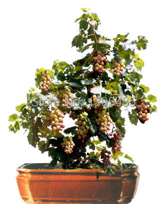 Гаджет  Free shipping 50pcs Bonsai Green Grapes Seeds Pot Dwarf Fruit Home Garden Climbing Tree Rapid Growth Variety None Дом и Сад