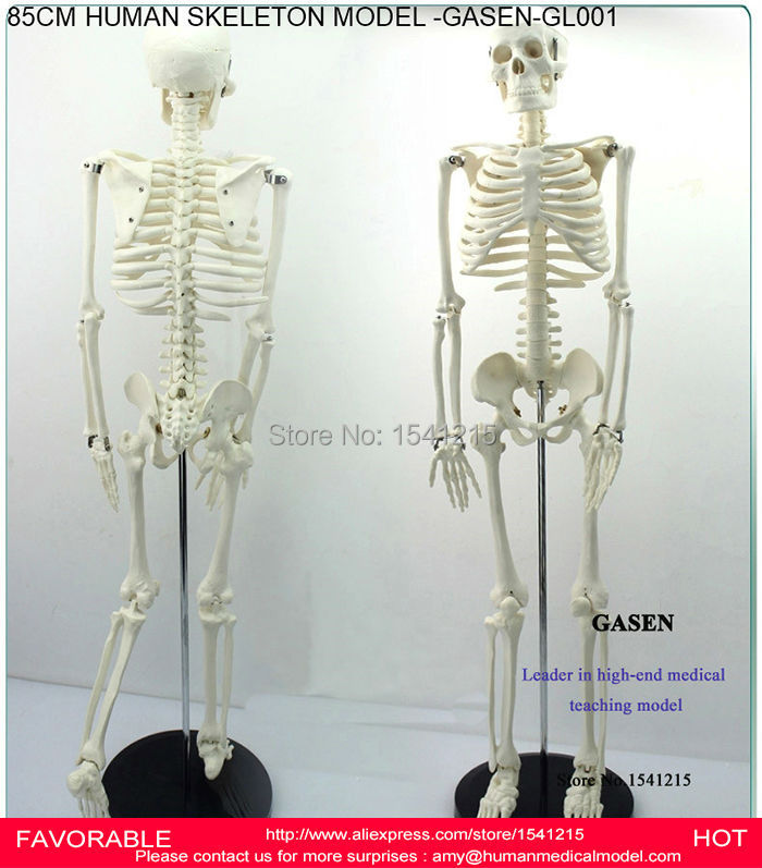 85CM TEACHING HUMAN SKELETON MODEL HUMAN ANATOMICAL MEDICAL HUMAN SKELETON ANATOMICAL MEDICAL HUMAN BODY SKELETON-GASEN-GL001(China (Mainland))